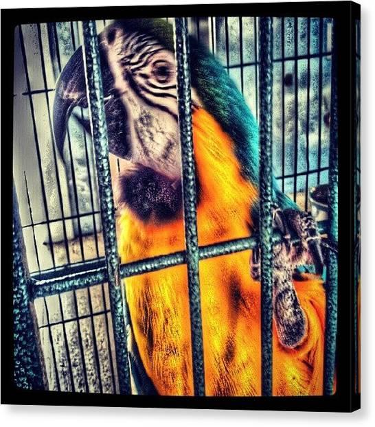 Macaws Canvas Print - A El Le Gusta Posar Para Mi :) #macaw by Tania Torres