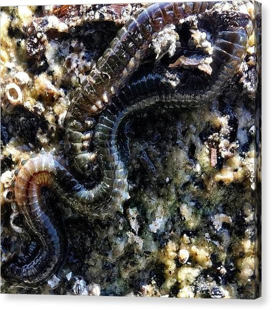 Marines Canvas Print - A Fair Sized #polychaete #annelid #worm by Victor Wong