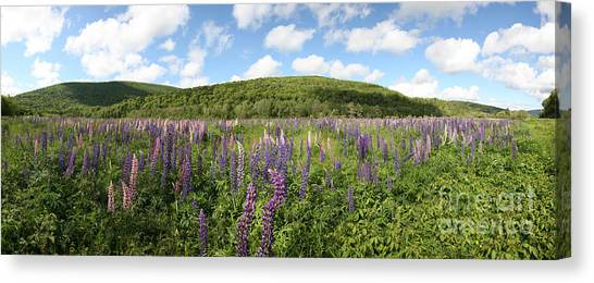 Cabot Trail Canvas Print - A Field Of Lupines by Ted Kinsman