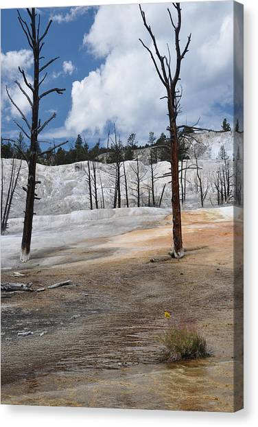 A Flower Blooms In Mammoth Hot Springs Canvas Print