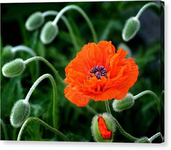 Poppys Canvas Print - A Flower In Medusa's Hair by Bill Pevlor