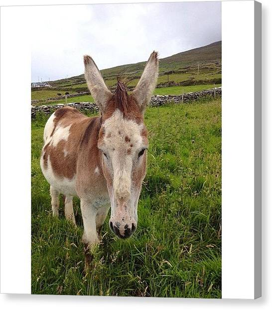 Donkeys Canvas Print - A Friendly #donkey At #dingle #ireland by Donny Bajohr