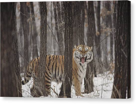 And Threatened Animals Canvas Print - A Gaping Grimace Allows A Siberian by Marc Moritsch