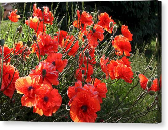 A Gathering Of Poppies Canvas Print