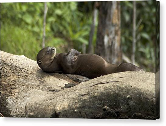Amazon River Canvas Print - A Giant River Otter Rests On A Tree Log by Nicole Duplaix