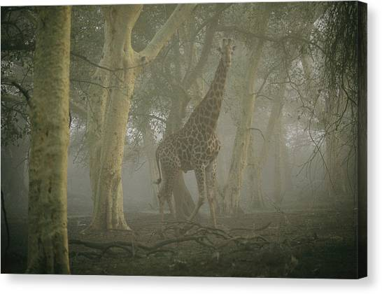 Republic Of South Africa Canvas Print - A Giraffe Walking In A Misty Forest by Chris Johns