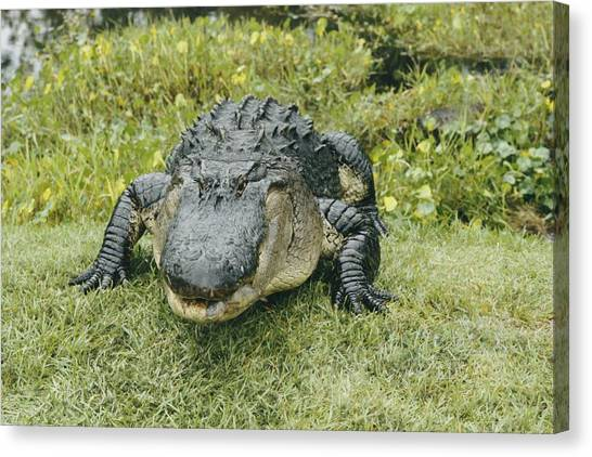 Okefenokee Canvas Print - A Good Close-up Of An by Joseph H. Bailey