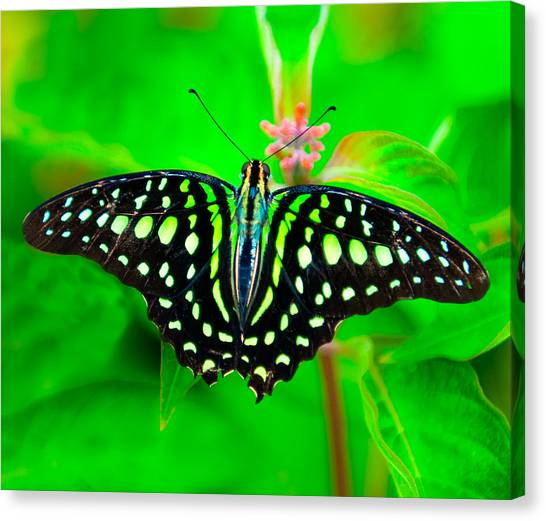 A Green Butterfly Canvas Print