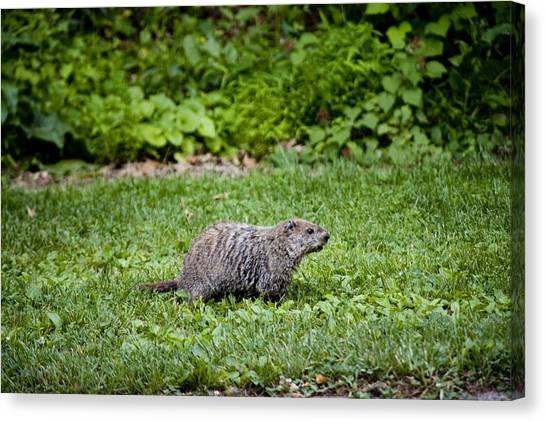 Groundhogs Canvas Print - A Groundhog Marmota Monax Enjoys A Meal by Stephen St. John
