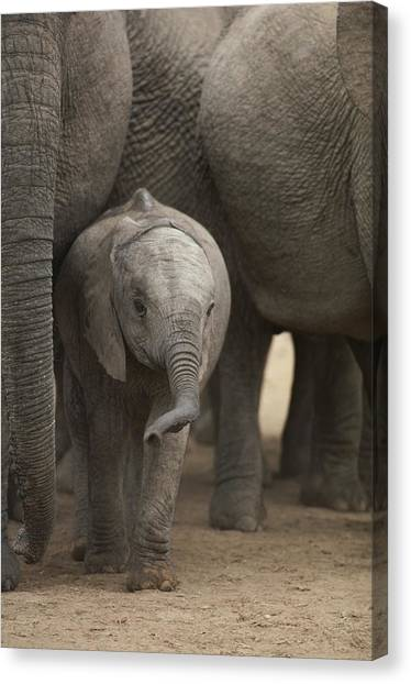 Republic Of South Africa Canvas Print - A Juvenile Elephant Standing Amongst by Kenneth Garrett