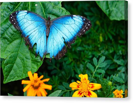 A Large Blue Butterfly Canvas Print