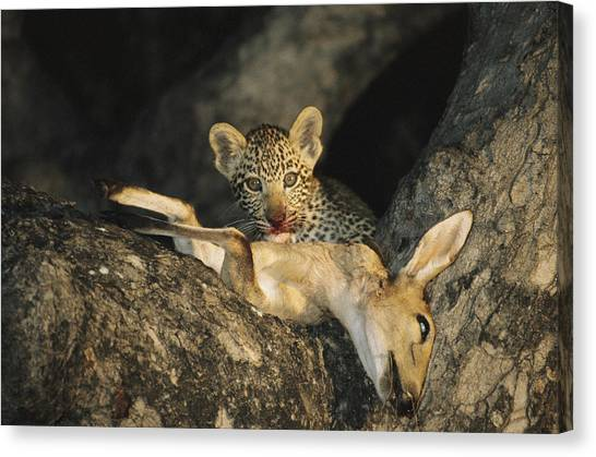 Republic Of South Africa Canvas Print - A Leopard Cub Gets A Taste by Kim Wolhuter