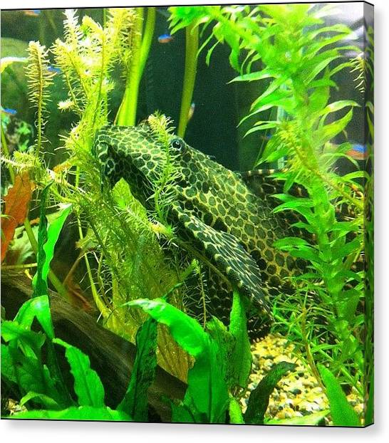 Aquariums Canvas Print - A Leopard #sailfin #pleco At A by Victor Wong