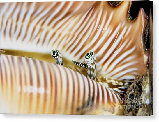 Cowrie Shell Canvas Print - A Live Conch Shellfish Looks by Terry Moore
