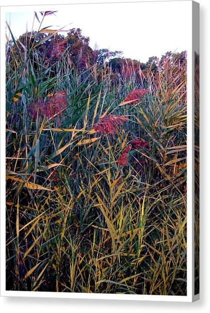 A Long Island Saltwater Grass In Bloom Canvas Print