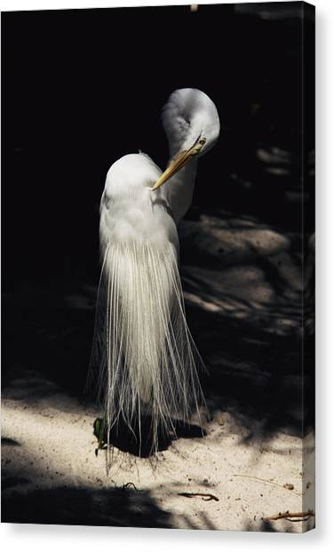 Amazon River Canvas Print - A Majestic Great Egret, Cranes His Neck by Stephen St. John