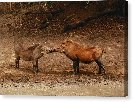 Republic Of South Africa Canvas Print - A Male And Female Warthog Kiss Noses by Nicole Duplaix