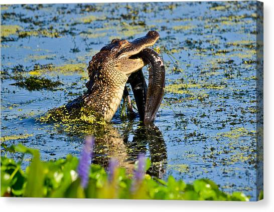 A Meal Fit For A Gator Canvas Print by Julio n Brenda JnB