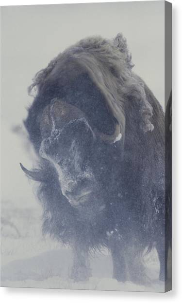 Northwest Territories Canvas Print - A Musk-ox Ovibos Moschatus Shakes by Norbert Rosing