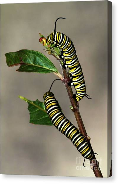 Caterpillers Canvas Print - A Pair Of Monarch Caterpillars by Sabrina L Ryan