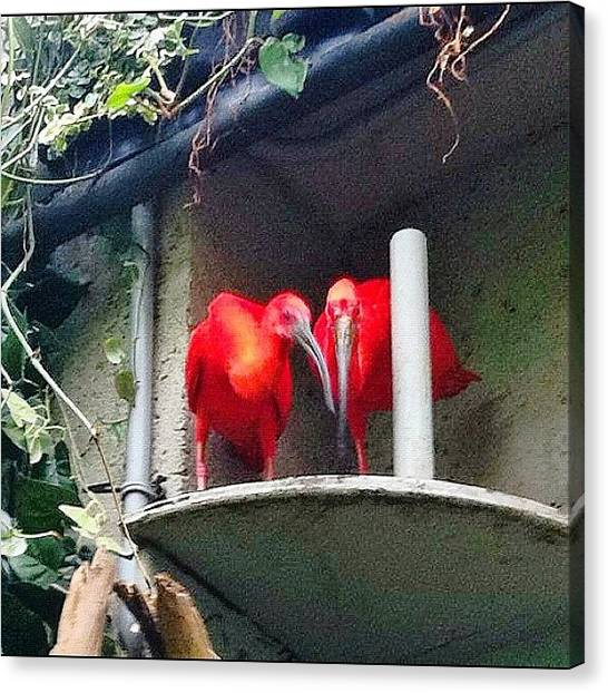 Ibis Canvas Print - A Pair Of #scarlet #ibises (eudocimus by Victor Wong