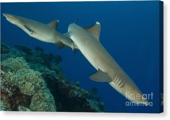 Kimbe Bay Canvas Print - A Pair Of Whitetip Reef Sharks, Kimbe by Steve Jones