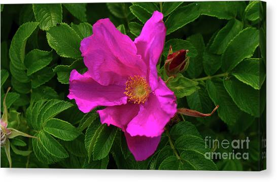 A Pair Of Wild Roses Canvas Print