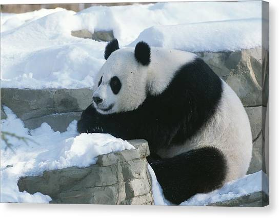 Sleeping Giant Canvas Print - A Panda In The Snow At The National Zoo by Taylor S. Kennedy
