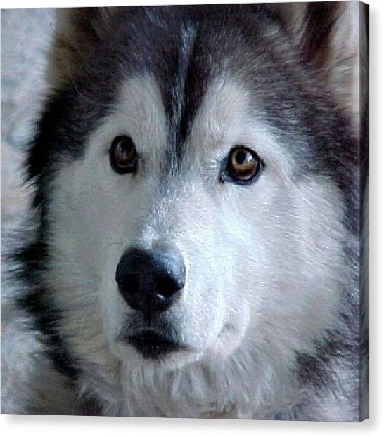 Wolves Canvas Print - A Photo Of Ciber, Our #siberianhusky by Liz Grimbeek