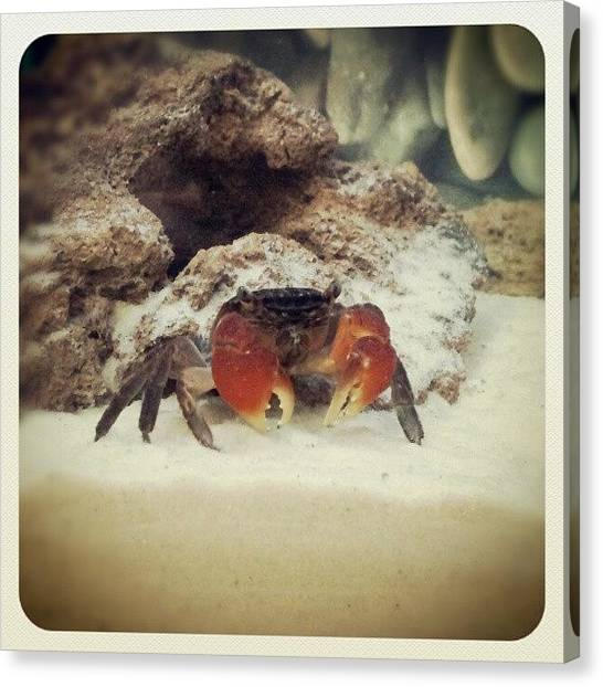 Tropical Fish Canvas Print - A #photo Of One Of My #pet #crabs by Stephen Clarridge