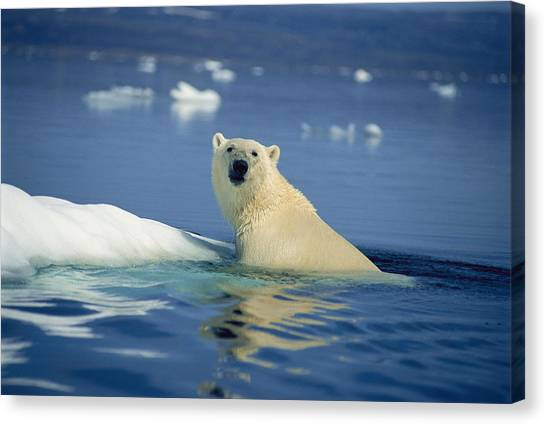 Northwest Territories Canvas Print - A Polar Bear Emerging From The Waters by Joe Stancampiano