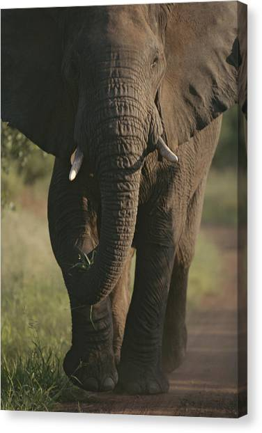 Republic Of South Africa Canvas Print - A Portrait Of An African Elephant by Tim Laman