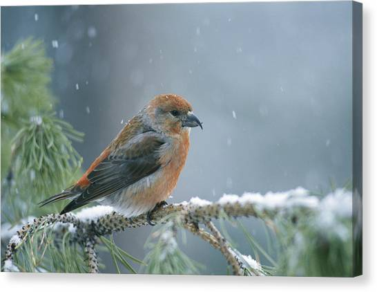 Crossbills Canvas Print - A Red Crossbill Loxia Curvirostra by Michael S Quinton