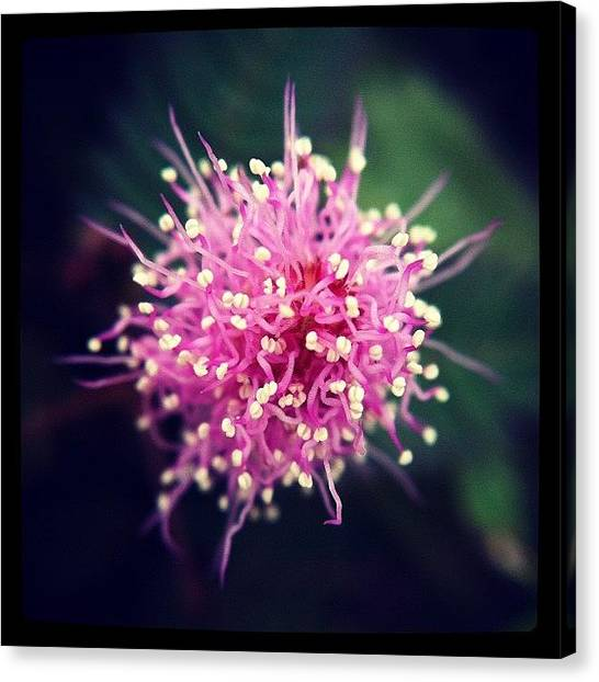 Mimosa Canvas Print - A Sensitive Plant, Mimosa Flower Or Shy by Zachary Voo