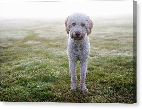 Dogs Canvas Print - A Spanish Water Dog Standing A Field by Julia Christe