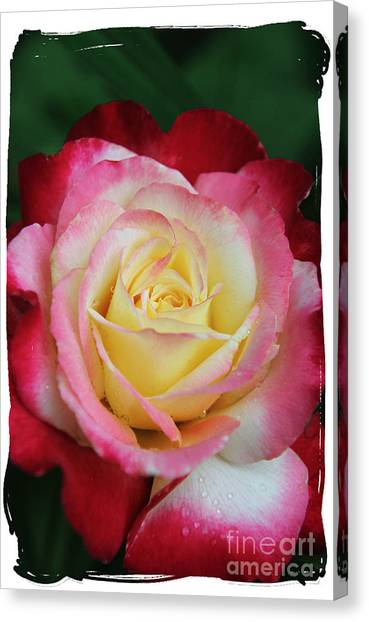 A Special Rose Canvas Print