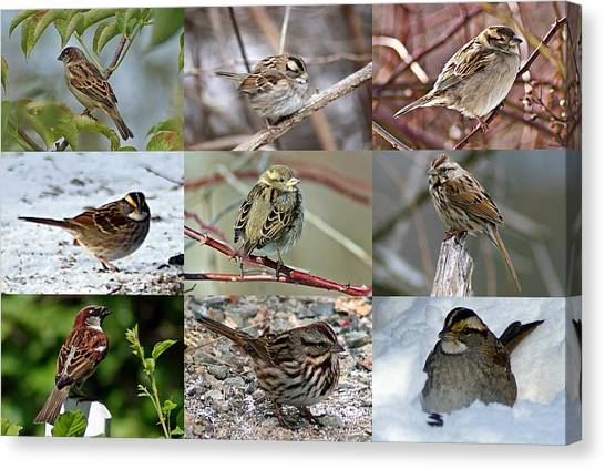 A Study In Sparrows Canvas Print