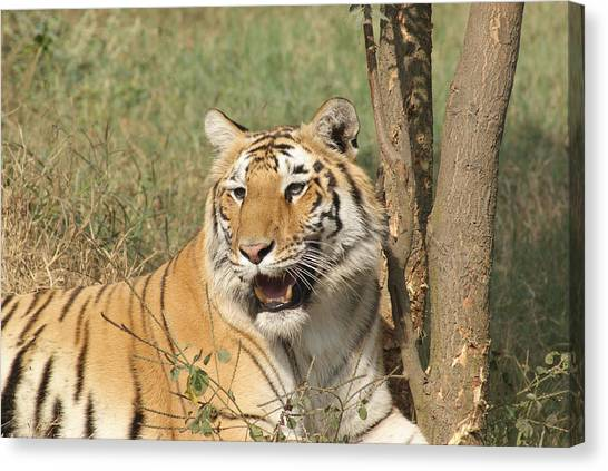A Tiger Lying Casually But Fully Alert Canvas Print