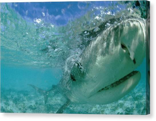 Tiger Sharks Canvas Print - A Tiger Shark Galeocerdo Cuvier Hunting by Bill Curtsinger