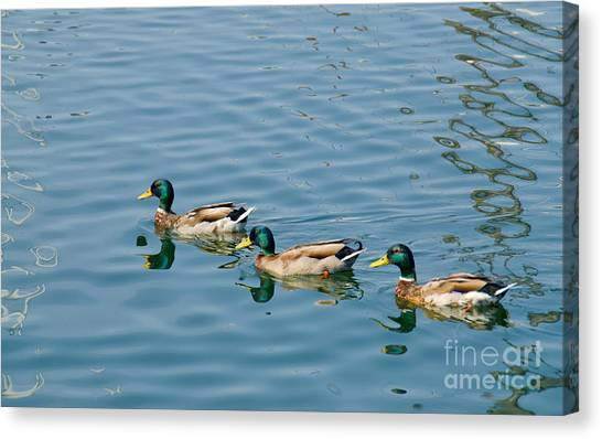 A Trio Of Mallards Canvas Print