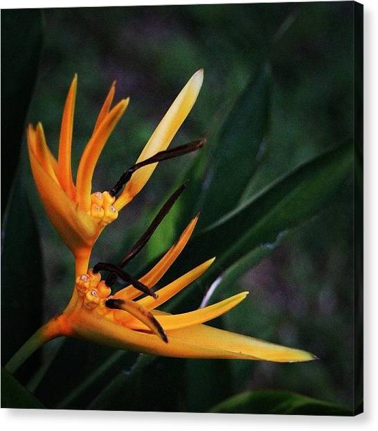 Political Canvas Print - A Tropical Flower, Humming Birds Feed by Ahmed Oujan