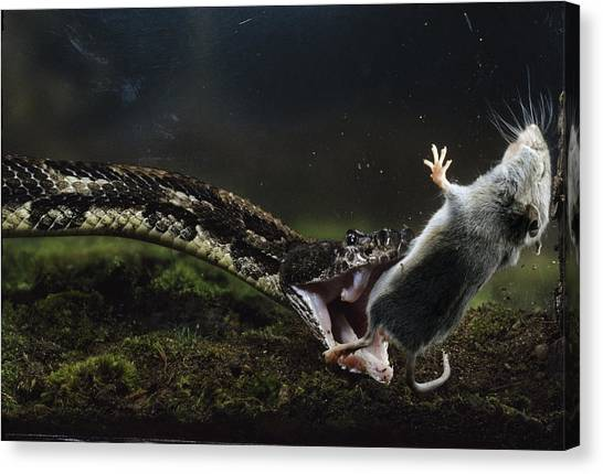 Timber Rattlesnakes Canvas Print - A White-footed Mouse Makes A Meal by Bianca Lavies