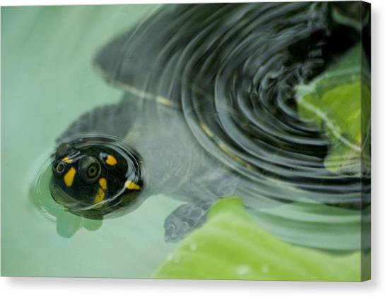 Amazon River Canvas Print - A Yellow-spotted Amazon River Turtle by Nicole Duplaix