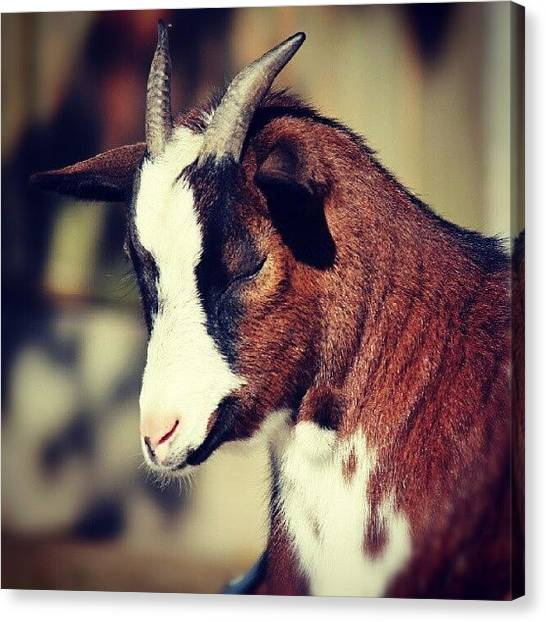 Goats Canvas Print - A Young Goat At A Small Petting Zoo by Ervina Bakker