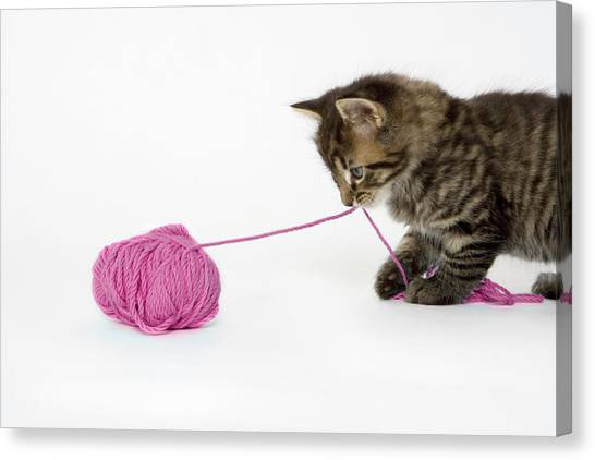 A Young Tabby Kitten Playing With A Ball Of Wool. Canvas Print by Nicola Tree
