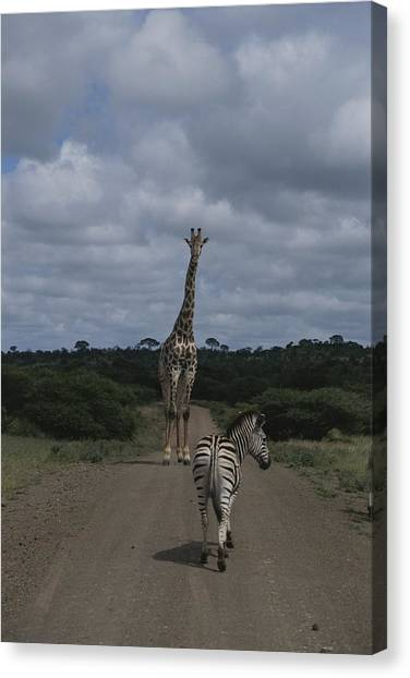 Republic Of South Africa Canvas Print - A Zebra And Giraffe Walk Down A Dirt by Stacy Gold