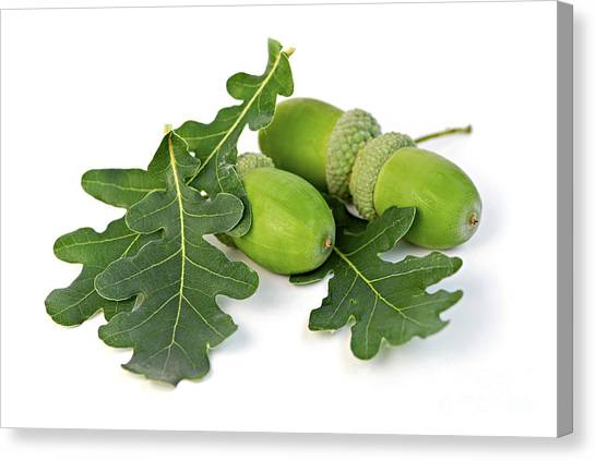 Vibrant Canvas Print - Acorns With Oak Leaves by Elena Elisseeva