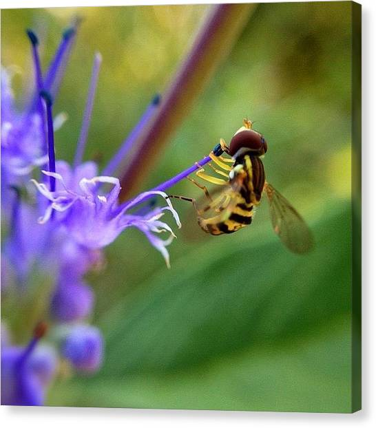 Hummingbirds Canvas Print - [act Like A Hummingbird, Look Like A by Ben Leser