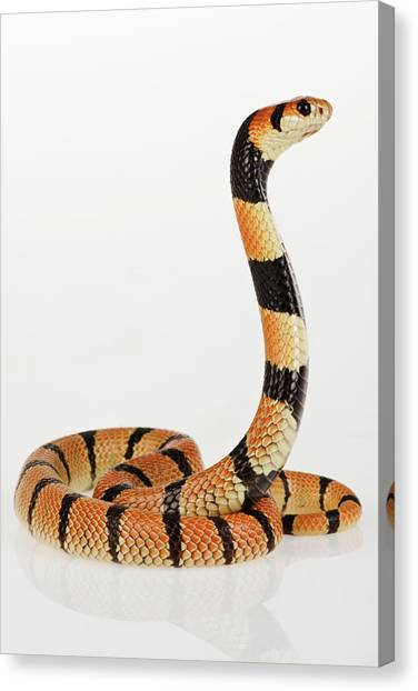 Coral Snakes Canvas Print - African Coral Snake Against White Background. by Martin Harvey