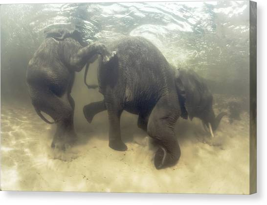 African Elephants Swimming Canvas Print by Peter Scoones